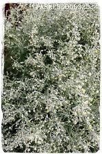 """Assenzio Artemisia absinthium"""""""" 2000+ Semi"""