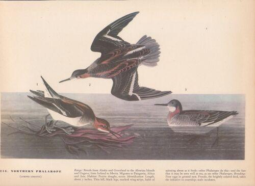 "1942 Vintage AUDUBON BIRDS #215 /""NORTHERN PHALAROPE/"" Color Art Plate Lithograph"