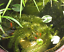 Anacharis-Elodea-Densa-Tropical-Live-Aquarium-Plants-Aquatic-Pond-Bundle-Stems thumbnail 4
