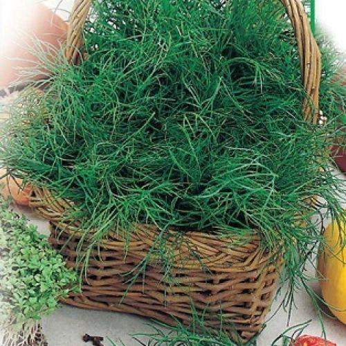 Herb Seeds Dill Salute Organic Heirloom Seed