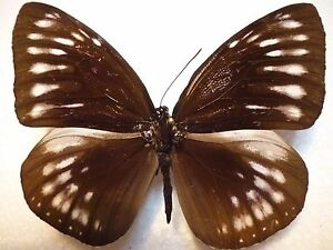 Real Butterfly/Insect Set/Spread B 2557 Euploea Female leucostictos viola..9 cm