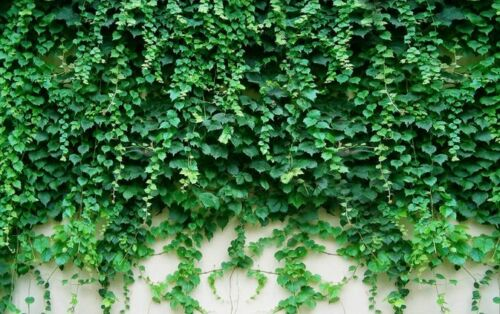 3D Beautiful Green Ivy Wall 36 Wall Paper Wall Print Decal Wall AJ Wall Paper