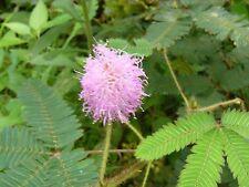 40 Semillas Rara planta - MIMOSA PUDICA - SENSITIVA - Se Mueve al Tacto - Flores