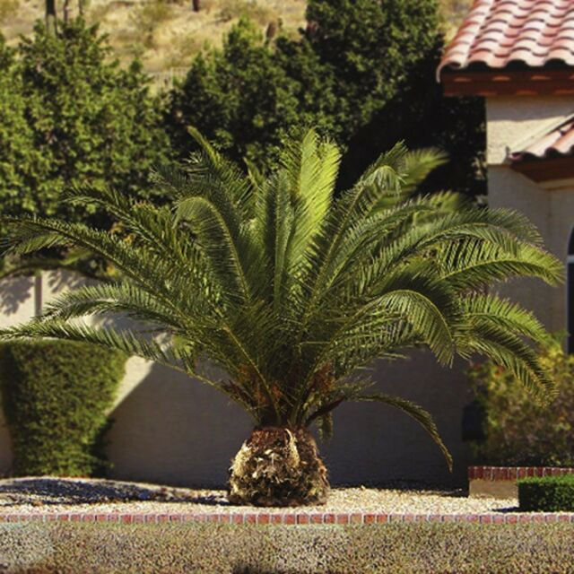 Hardy Phoenix Palm Trees Pair