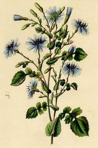 Decoration-Botanique-Flaur-Mulgede-Mulgedium-Royle-gravure-XIXe