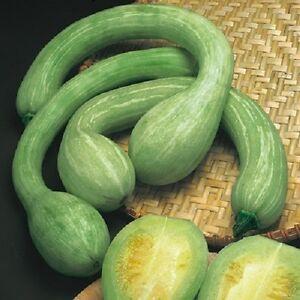 zucca-TROMBETTA-D-039-ALBENGA-tanti-semi-seeds