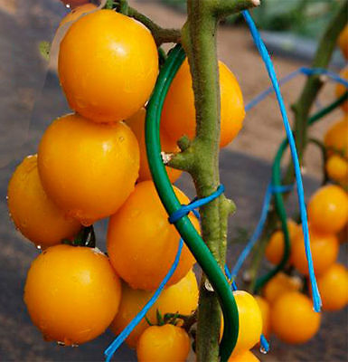 Rare collection Tomato Seeds Romus Heirloom Seeds