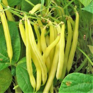 Kentucky Wonder Yellow Wax Bean Seeds (Pole) | Butter Beans Golden Seed For 2021