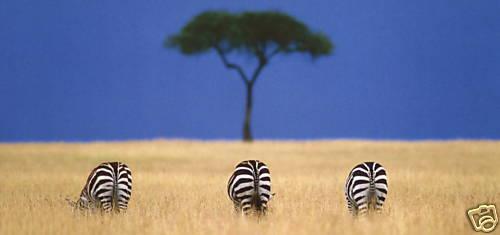 XXL-Ansichtskarte Zebras in der Savanne Ostafrika