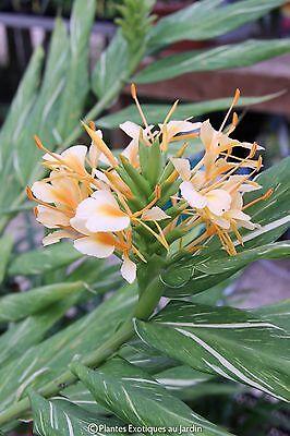 Hedychium Tahician Flame 1 plant feuillage panaché