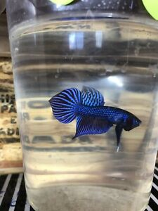 Blue Mahachai wild betta pair