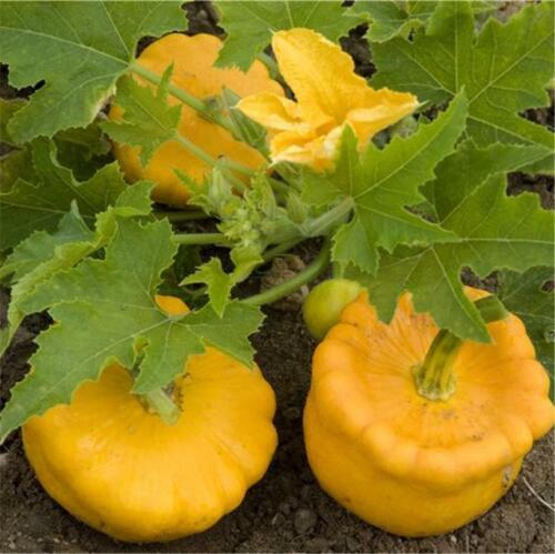 6 graines de PÂTISSON ORANGE courge précoce jardin potager facile