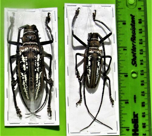 Wallace/'s Long-horn Beetle Batocera wallacei Pair Medium FAST FROM USA