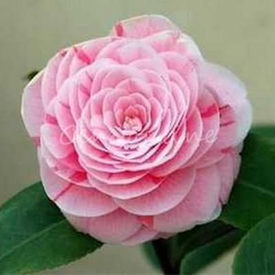 20Pcs Seeds Camellia Japonica Japanese Tea Flower Rose Shrub Seeds Winter Mix