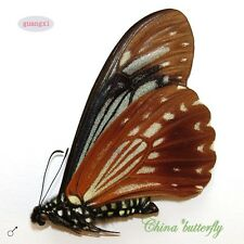 RARE  unmounted butterfly Chilasa agestor restricta GUANGXI  A1