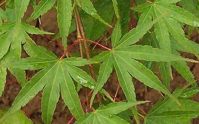 Acer palmatum Nishiki Gawa in a 1L pot Pine bark Maple