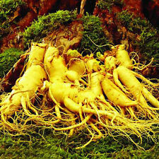 Lots 50Pcs Medicine Herbal Seed Outdoor Panax Ginseng Seeds Asian Wild Planting