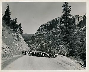 Near Cedar Breaks C. 1950 - Herd On Road Utah Usa - Gf 328 Bxc8ubvs-07233333-724454695
