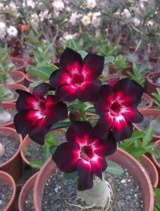 2 rare pink black white desert rose seeds adenium obesum flower image is loading 2 rare pink black white desert rose seeds mightylinksfo