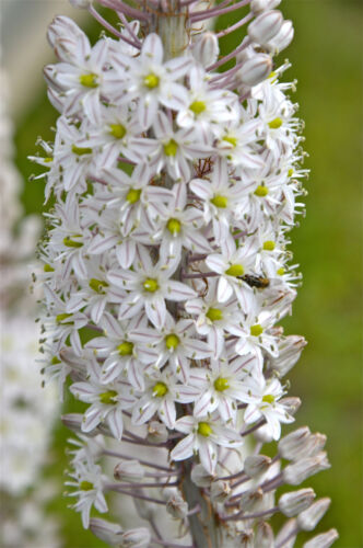 "4/""-6/"" Urginea Drimia maritima Giant Sea Squill WORLD/'S LARGEST SUCCULENT BULB"