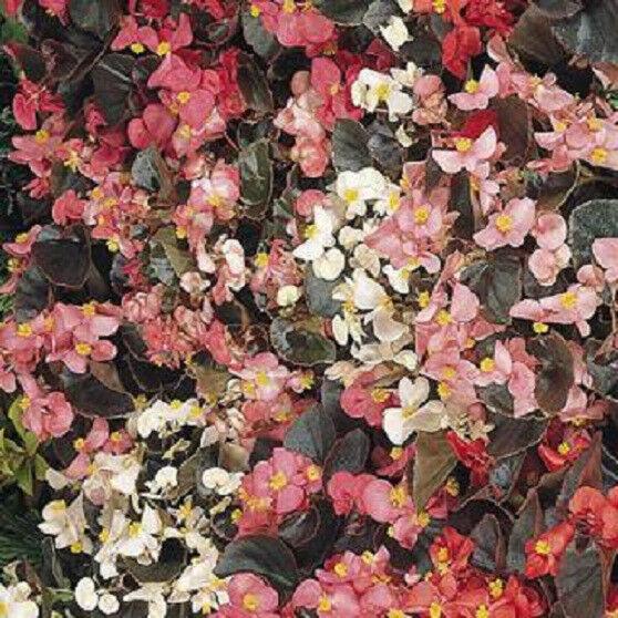 50 Begonia Cocktail mix Pelleted Seeds flower seeds Wax Begonia Seeds