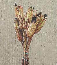 Mazzo 6 Protea longifolia naturale per composizioni fiori secchi