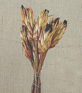 Composizioni Fiori Secchi.Mazzo 6 Protea Longifolia Naturale Per Composizioni Fiori Secchi