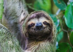 A1-Adorable-Smiling-Sloth-Poster-Art-Print-60-x-90cm-180gsm-Fun-Cool-Gift-14983