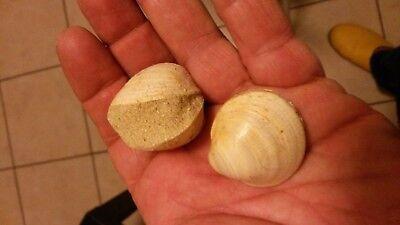 2 Pectunculus Cor In Verbindung Fossiles Miozän