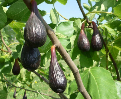 Scone BLACK FRIDAY FIG COLLECTION fig plants self fertile Cigar Ice hardy