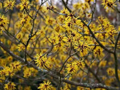 250 seeds Hamamelis vernalis Ozark witchhazel