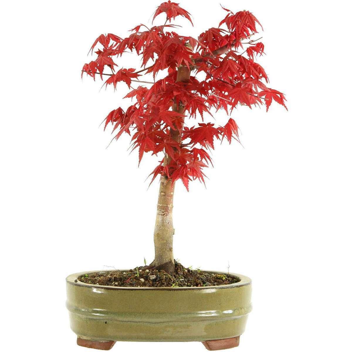 Acero palmato Deshojo, Bonsai, 10 anni, 35cm (111-26)