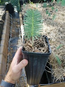 Dioon-edule-Seedling-Chestnut-Dioon-Palm-Cycad-Cycas-encephalartos