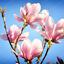 10-Pcs-Graines-Magnolia-Fleurs-Bonsai-magnifique-arbre-maison-jardin-plantes-Neuf-2018 miniature 6
