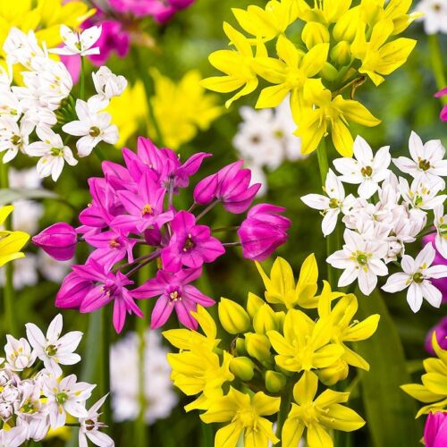 Mixed Small Flowering x 10 Bulbs All round Allium Spring Flowers.