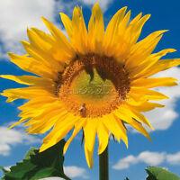 20Mongolian Giant Sunflower Seeds Plant Home Courtyard Gift Leo Girls TT396