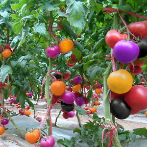 100Pcs-Rainbow-Tomato-Seeds-Colorful-Bonsai-Organic-Vegetables-and-Fruits