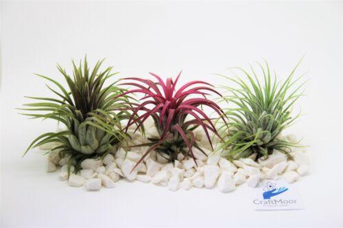Air plants tillandisa Terrarium sized Ionantha 3x Plant mix 4cm