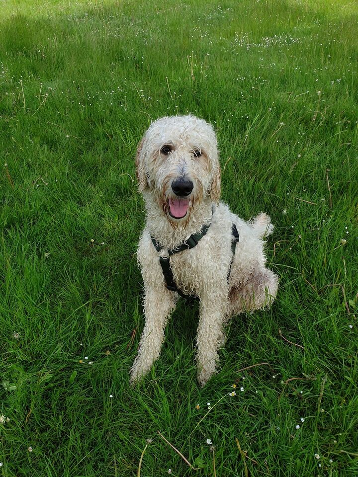 Labradoodle, hund, 2 år