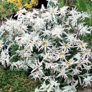Edelweiss-Leontonpodium-100-Seeds-BOGO-50-off-SALE