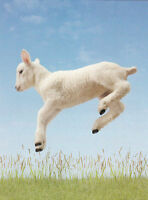 (21500) Postkarte - Schaf / Lamb