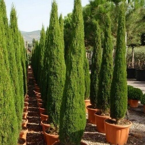 Italian Cypress Tree Seeds (cupressus Sempervirens) 25 Seeds | eBay