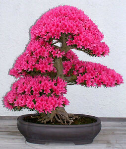 how to grow your own bonsai trees from seed english edition
