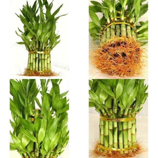 lucky bamboo plant from china total about 38 stalks houseplant