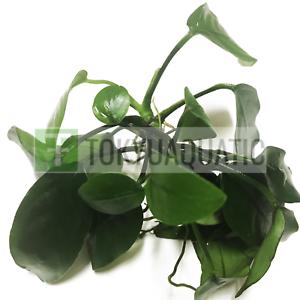 Anubias-Nana-Loose-Rhizome-Hardy-Leaves-Live-Aquarium-Plant-Barteri-Easy-Aquatic