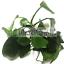 Anubias-Nana-Loose-Rhizome-Hardy-Leaves-Live-Aquarium-Plant-Barteri-Easy-Aquatic thumbnail 1