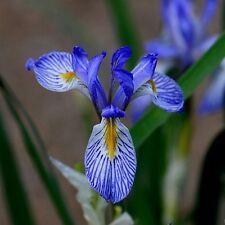 Wild Blue Iris Flower Seeds (Iris Missouriensis) 50+Seeds
