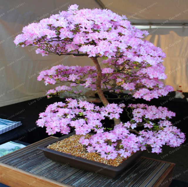 Seeds Cherry Sakura Japanese Bonsai Flower Blossoms Tree Blossom Oriental Seeds For Sale Online Ebay