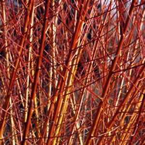 Willow Salix Flame Red Cuttings 8 Privacy Ornamental