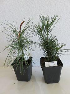 Pinus-pumila-Japanische-Zwerg-Kiefer-Baum-Pflanze-20-25-cm-Bonsai-geeignet